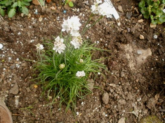 white thrift (armeria maritima alba)