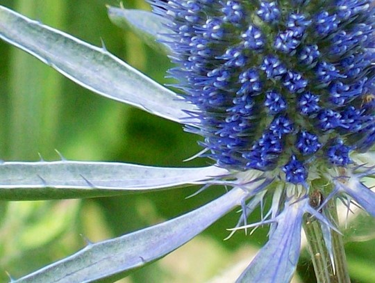 Sea Holly....