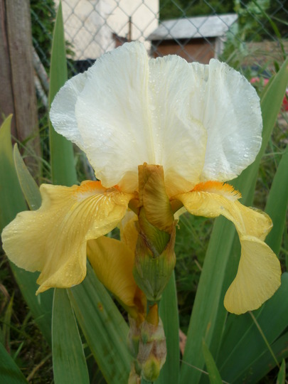 Iris yellow and white