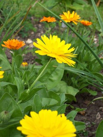 Orange/Yellow Pot Marigolds