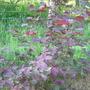 Hazel (Corylus Maxima purpurea)