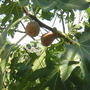Fig Brown Turkey (Ficus carica (Fig))