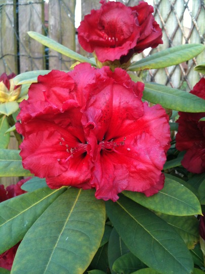rhododendron 39 red jack 39 grows on you. Black Bedroom Furniture Sets. Home Design Ideas