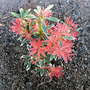 Pieris japonica 'Flaming Silver' (Pieris japonica (Lily of the valley bush))