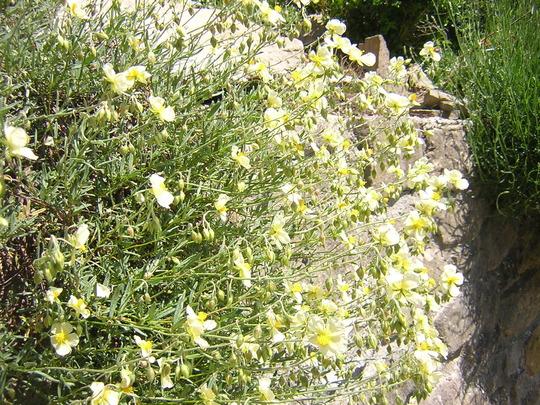 Wisley primrose (Helianthemum nummularium)