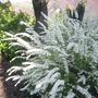 Spirea Bridal Wreath (Spirea x vanhouttei)