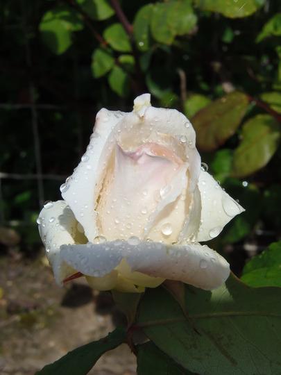 Climbing rose White