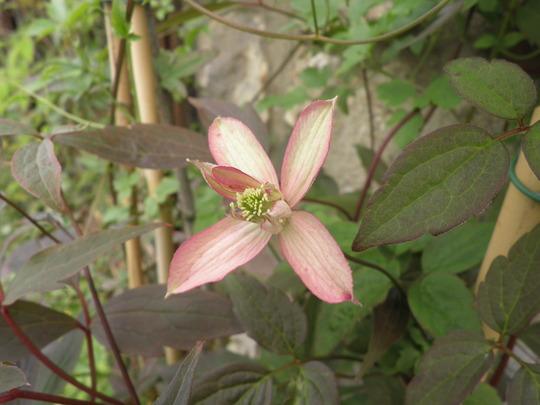 Hanna Montana Marjorie (Clematis montana (Clematis))