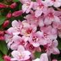 CLOSE UP OF WEIGELA FLORIDA FLOWER