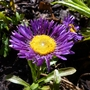 Aster alpinus 'Dark Beauty' (Aster alpinus 'Dark Beauty')