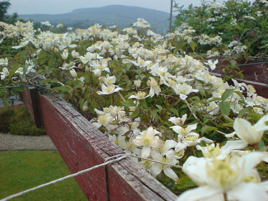 Clematis Grandiflora and the perfume is haunting !!