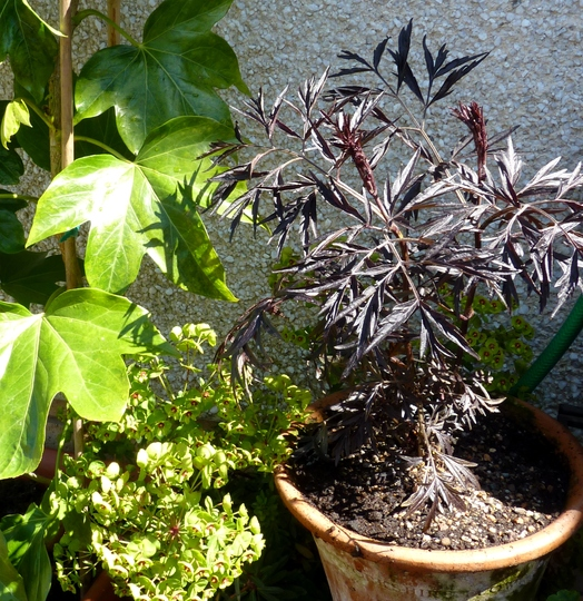 Sambucus 'Black Lace' (Sambucus Nigra)