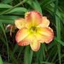 Daylily cross (Hemerocallis)