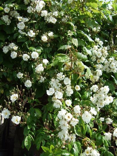 Cascade of Rosa 'Kiftsgate' (Rosa filipes 'Kiftsgate')