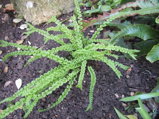 Maidenhair spleenwort (fern) (asplenium trichomanes)