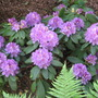 Rododendron_001