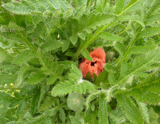 For PansyP - Oriental Poppy Leaves