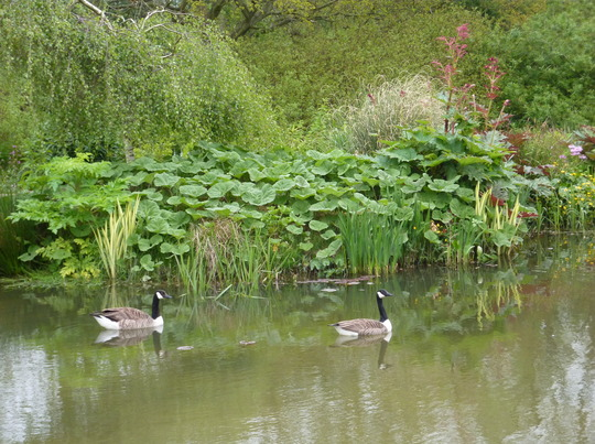 A First One - Never Had Canada Geese On Our Pond Before