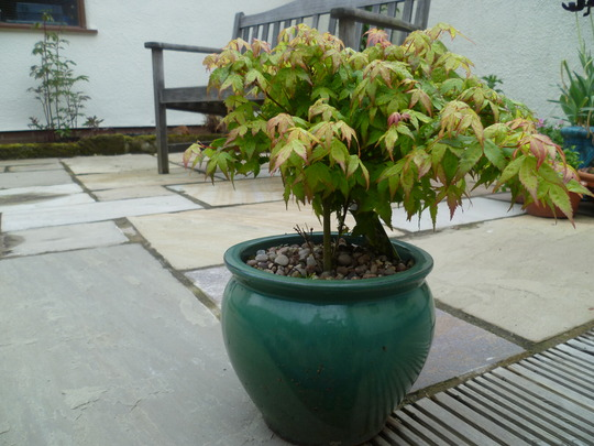 Acer 'Little Princess'