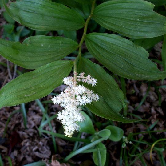 Smilacina racemosa (Smilacina racemosa (False spikenard))