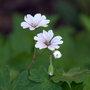 Geranium pyrenaicum (Geranium pyrenaicum)