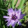 Catananche_caerula