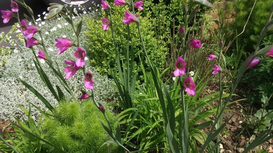 Gladiolus italicus (Gladiolus italicus (Italian Gladiolus))