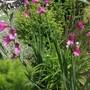 Gladiolus_italicus