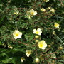 Potentilla fruticosa 'Primrose Beauty' (Potentilla fruticosa 'primrose beauty')