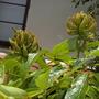 Spathodea campanulata - African Tulip Tree Buds (Spathodea campanulata - African Tulip Tree)