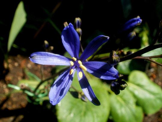 blue pasithea (Pasithea caerulea)