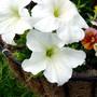 White Cascade Petunia