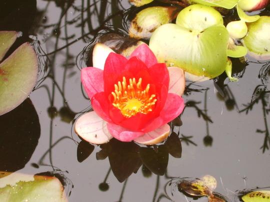 Water_lilly2.jpg
