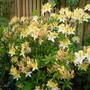 Rhododendron luteum (A) AGM (Rhododendron luteum (Common Yellow Azalea))