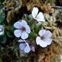 Gypsophila cerastiodes 'Baby's Breath' (Gypsophila cerastiodes)