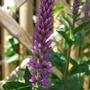 Veronica_purpleicious_