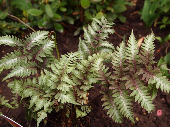 new addition to the woodland border..Japanese painted fern