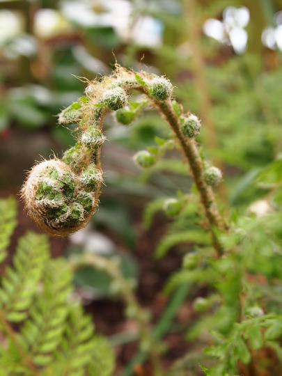 beautiful fronds on my fern