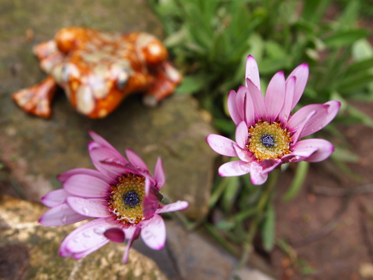 osteopermums in the new rockery