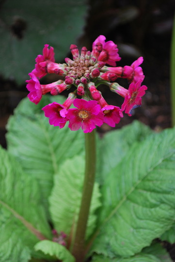 Primula jap Millers Crimson..... (Primula japonica (Japanese Primrose) Miller's Crimson)
