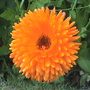 marigolds (Calendula officinalis (English marigold))