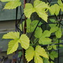 Golden Hop.... (Humulus lupulus (Golden Hop))