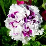 Pirouette Purple Petunia