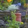 Welsh Poppy (Meconopsis)