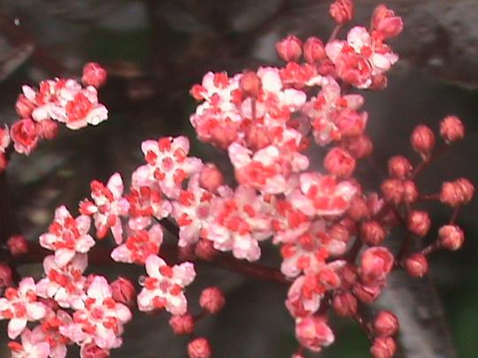 Black Elderberry (Sambucus nigra (Common elder))
