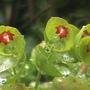 Spurge again (euphorbia martinii)