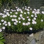 The osteospermums at lunchtime