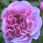 Rose (gertrude jekyl rose)