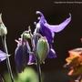 Purple Aquilegia (aquilegia)