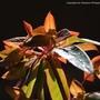Euphorbia flame (Euphorbia)